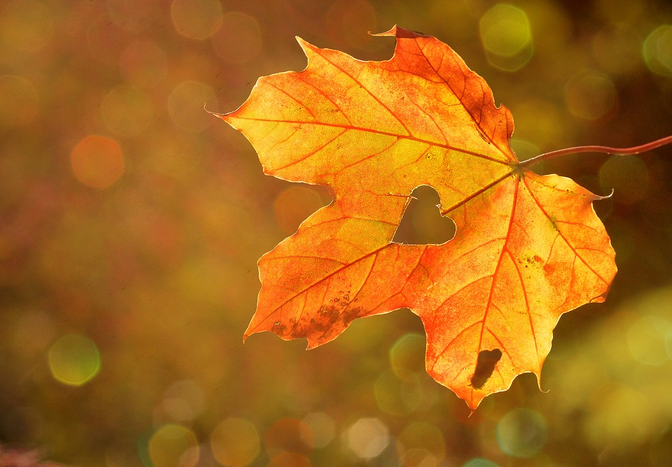 an amber-colored autumn leaf with a heart-shaped rupture